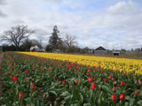 2009 Woodburn Tulip Fields by auroraobers, Photography->Flowers gallery