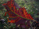 Gods Beauty - one leaf at a time... by rp64, Photography->Macro gallery