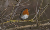 Rainton Robin by slybri, Photography->Birds gallery