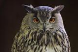 Owl by Paul_Gerritsen, Photography->Birds gallery