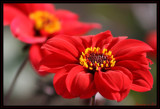 Sunshine in Red by Corconia, photography->flowers gallery
