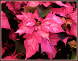 Frosted Poinsettia by trixxie17, photography->flowers gallery