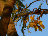 Kowhai, National Flower of NZ by LynEve, Photography->Nature gallery