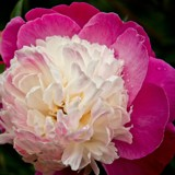 Paeony up close by LynEve, photography->flowers gallery