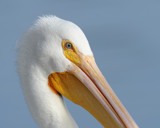 Eye of the Pelican by garrettparkinson, photography->birds gallery