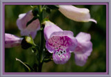 foxglove by photog024, Photography->Flowers gallery