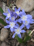 Chionodoxa forbesii by DaveonLI, Photography->Flowers gallery
