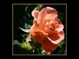 A Caedes Rose by LynEve, Photography->Flowers gallery