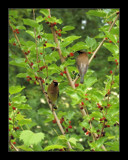 Cedar Waxwing 2 by gerryp, Photography->Birds gallery