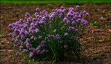 Chives by tigger3, photography->general gallery