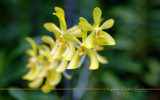 Singapore Orchid Gardens 13 by Samatar, Photography->Flowers gallery