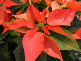 Coral Poinsettia by trixxie17, holidays->christmas gallery