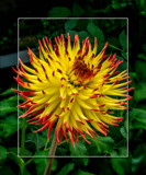 Dahlia Show 45 by corngrowth, photography->flowers gallery