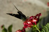 At the Greenhouse by rhelms, photography->butterflies gallery