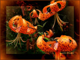 Dancing Tigers by LynEve, Photography->Flowers gallery