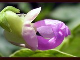 Bean Flower - Revised by June, Photography->Flowers gallery