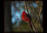 Mr. Songbird by tigger3, Photography->Birds gallery