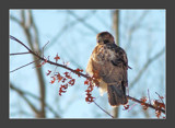 Red Tailed Hawk 5 by gerryp, Photography->Birds gallery