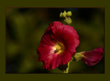 A Biblical  Lovely by tigger3, Photography->Flowers gallery