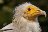 Vulture by Paul_Gerritsen, Photography->Birds gallery