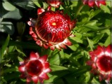 Gonzo Red Strawflower by trixxie17, photography->flowers gallery