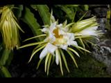 hawaiian night blooming cereus by jeenie11, Photography->Flowers gallery