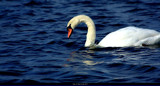 Swan On Blue by tigger3, photography->birds gallery