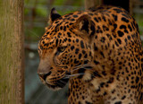 The Leopard #2 _repost by tigger3, photography->animals gallery