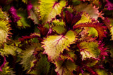 Coleus by Pistos, photography->flowers gallery