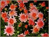 Strawberry -Orange by trixxie17, photography->flowers gallery