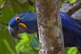 Hyacinth Macaws by jeenie11, photography->birds gallery