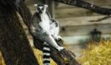 Interrupted Lemur by tweir, photography->animals gallery