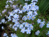 Forget Me Not by June, photography->flowers gallery
