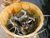 Crabs from Lake Pontchartrain by Vivianne, Photography->Animals gallery