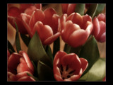 Tulips by JQ, Photography->Flowers gallery