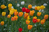 Tulips for Friday by Ramad, photography->flowers gallery