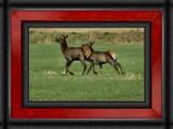 Elk Calves by griz74, Photography->Animals gallery