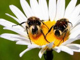 Two  Busy  Bees by snapshooter87, Photography->Insects/Spiders gallery