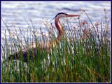 Le Grand Heron by noranda, Photography->Birds gallery