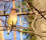 Cedar Waxwing by CDHale, photography->birds gallery