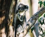 Koala by Steb, Photography->Animals gallery