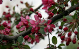 Spring and the Crabapple Tree by casechaser, Photography->Flowers gallery