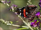 The Red Admiral by tigger3, photography->butterflies gallery