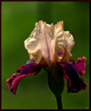 The Iris #7 by tigger3, photography->flowers gallery