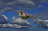 Achtung Peregrine by biffobear, photography->manipulation gallery