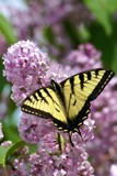 Swallowtail on Lilacs by richwn, Photography->Butterflies gallery
