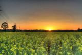 Canola Sunset by Mvillian, photography->sunset/rise gallery