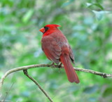 Male Cardinal. by GomekFlorida, photography->birds gallery