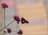 A Flutterby Capture by tigger3, photography->butterflies gallery