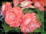 Begonia Beauty by LynEve, Photography->Flowers gallery